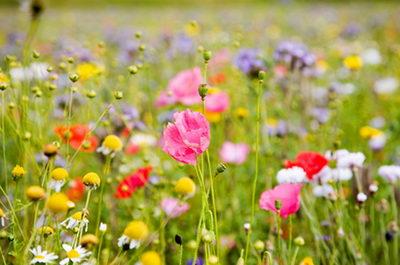 lugovie-cveti