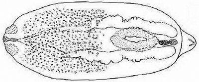 Diplostomum, вызывающий помутнения глаз рыб
