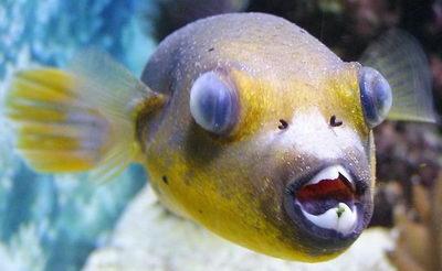Помутнение глаза у рыб: глистный катаракт, diplostomum volvens