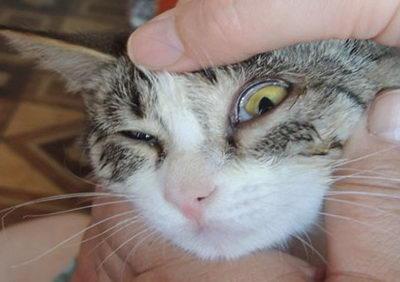Травмы глаз у кошек