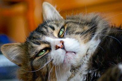 Заболевания глаз конъюнктивит у кошек