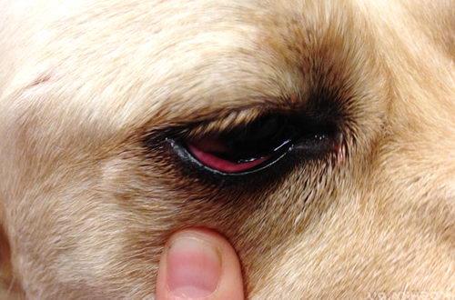 Конъюнктивит глаза у собаки
