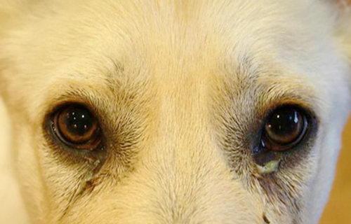 Как выглядит конъюнктивит у собак?