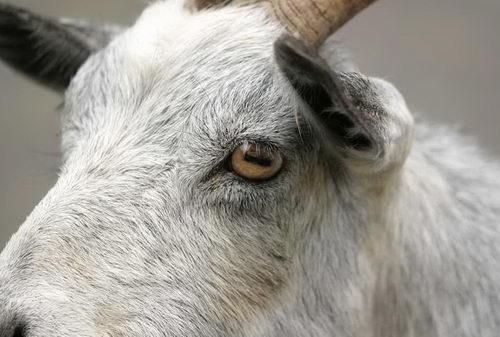 Прямоугольные зрачки козы