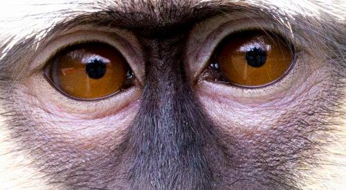 Зрение у обезьян